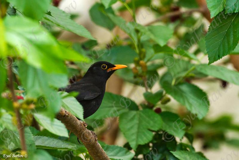 שחרור - Common Blackbird (Turdus merula) 5