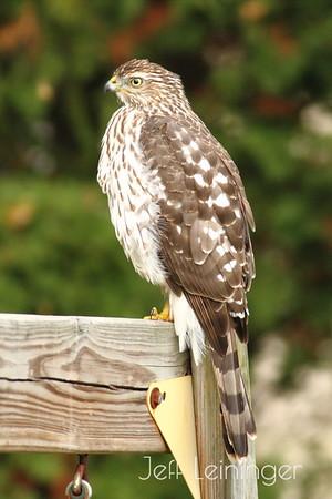 Hawk in the backyard.