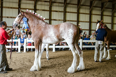 Jr Champ Clydesdale Mare