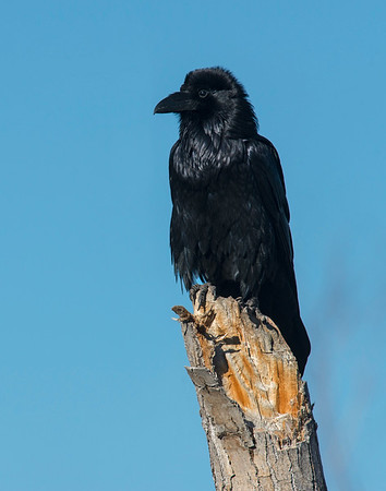 Crows and Ravens