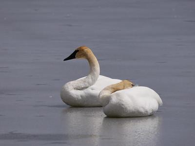 20180407 Trumpeter Swan