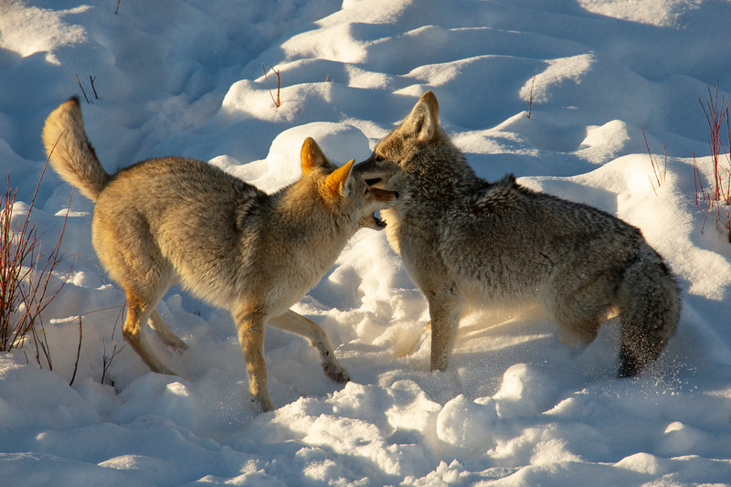 387A9574 Two coyotes fighting cropped.jpg