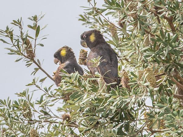 Black Cockatoos, Blue Lagoon
