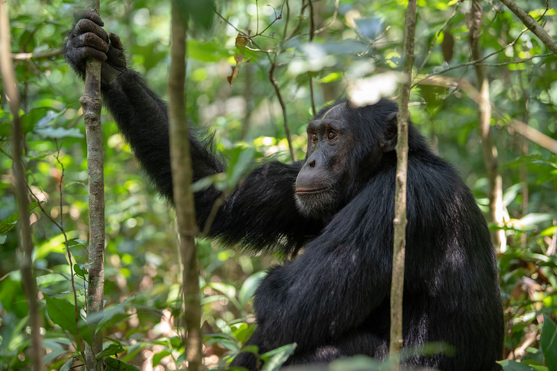 Uganda_T_Chimps-442.jpg