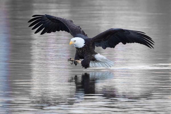 Mississippi River Eagles