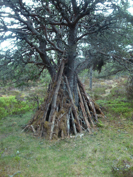 And then found this survival shelter! Doubtless built by one of the Cairngorm Lodge students, dumped out here for the night with instructions to 'survive'.