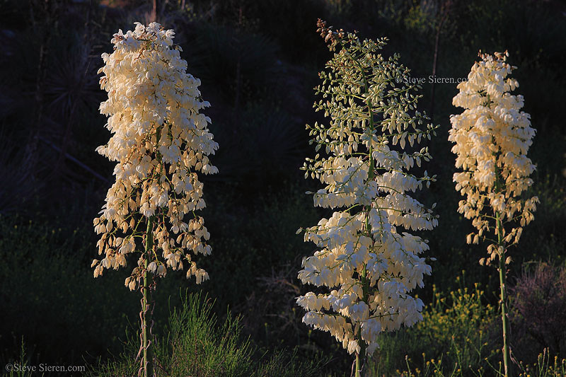 Whipple yucca blooming in the Santa Clara River Valley, Southern California