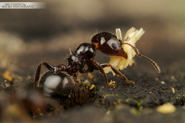 [SPOTLIGHT] Ants Carrying Stuff