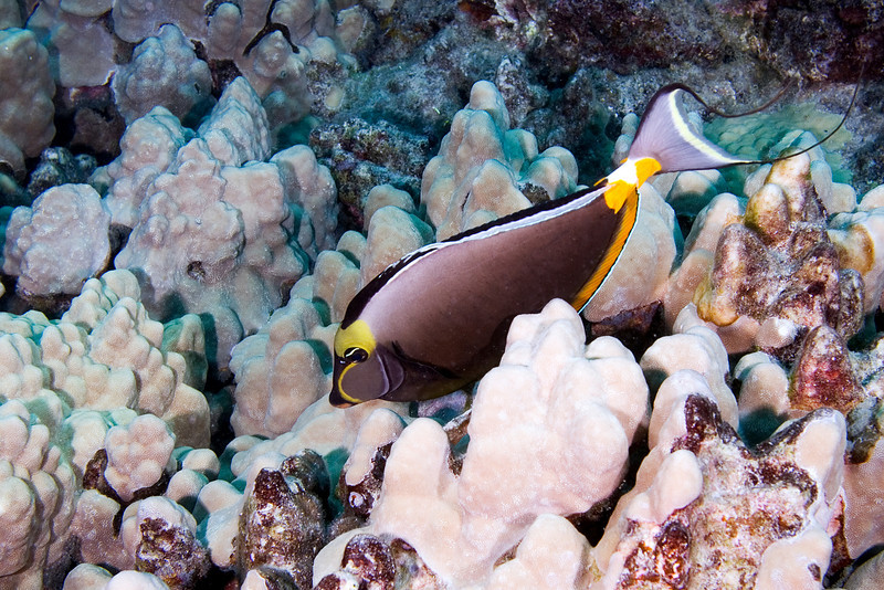 Orange Spine Surgeonfish.jpg