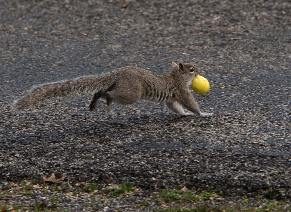 . A squirrel runs away with an Easter egg during an egg hunt from the First General Baptist Church on Saturday, March 30, 2013 in Owensboro, Ky.  (AP Photo/The Messenger-Inquirer, Gary Emord-Netzley)