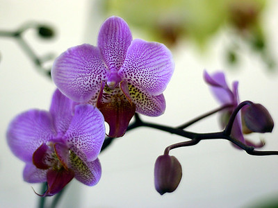 Oregon Orchid Show 2005