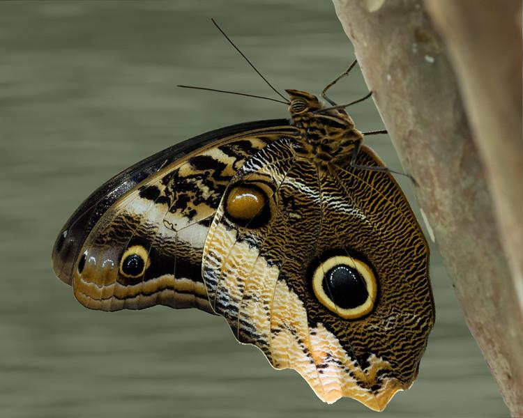 Owl Butterfly-.jpg