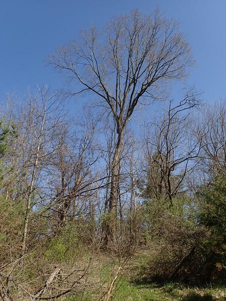 Very tall elm