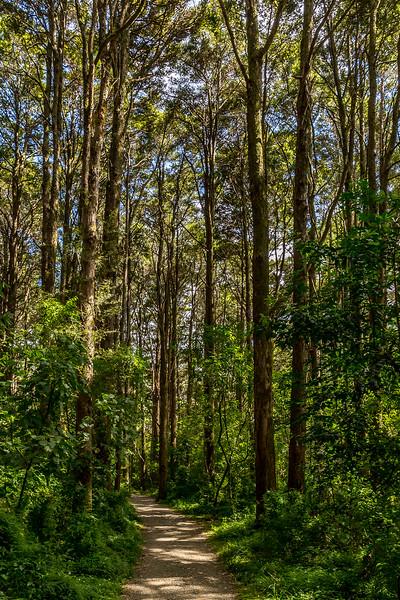 Kauriwald am Kerikeri River Track