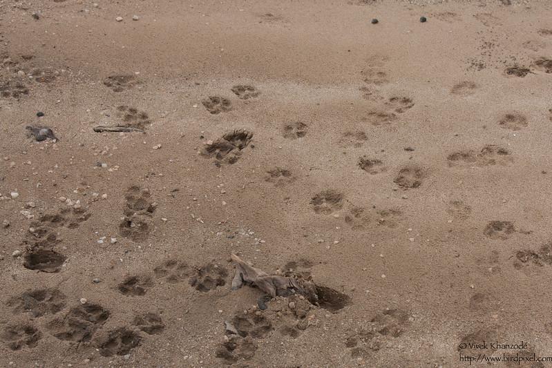 Dhole / Indian Wild Dog footprints - Pench National Park, Maharashtra, India