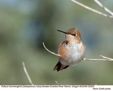 RufousHummingbirdF32525.jpg