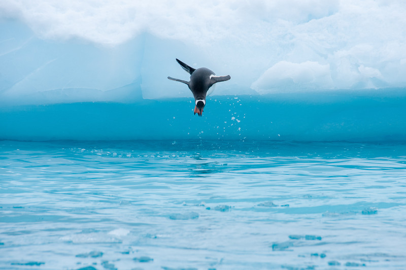 Gento penguin diving into water in Paradise Bay