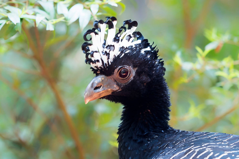 Bare-faced Currassow