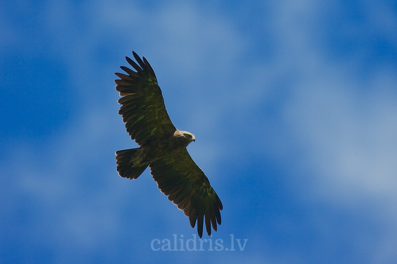 A lesser spotted eagle in flight