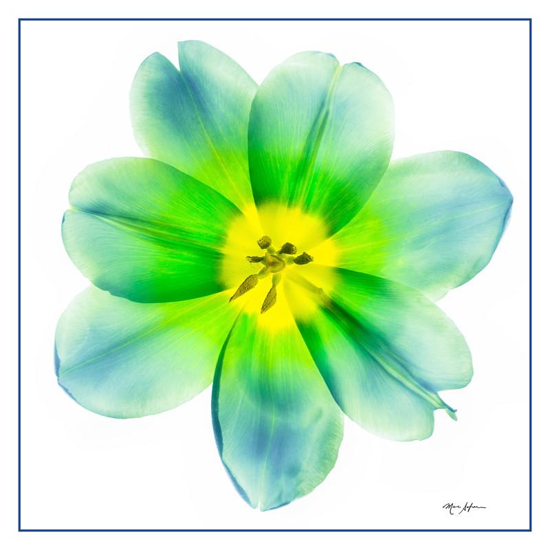Green Tulip.jpg