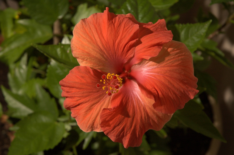 Red Hibiscus 3