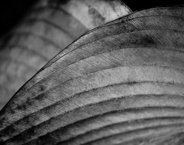 Hosta, After the Frost.jpg