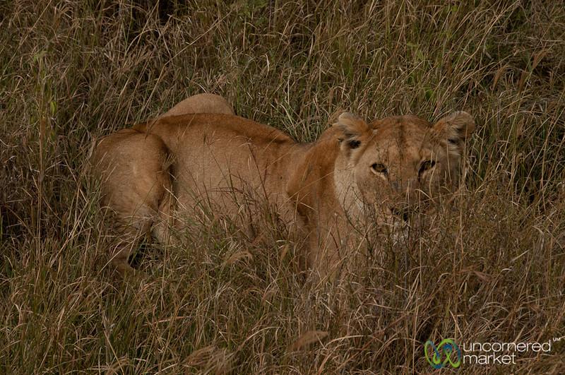 Lion Hiding in the Grass - Serengeti, Tanzania