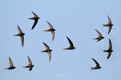 Jerzyki / Swifts