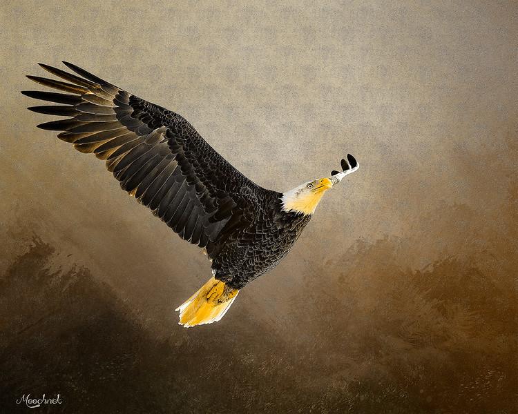 eagle_DSC9546-copy.jpg