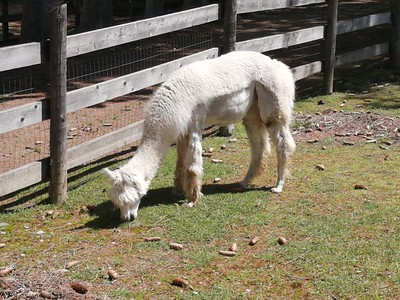 Lavender Farm and Alpaca Farm Tour • June 30, 2019