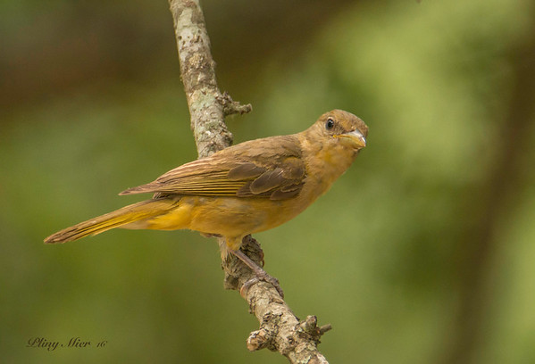 Summer Tanager female_DWL9788.jpg