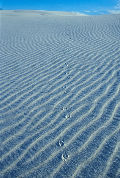 Coyote tracks at White Sands National Monument [Winter; New Mexico]