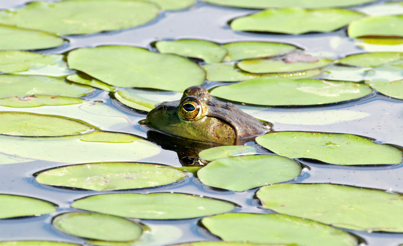 Among the Lilly Pads