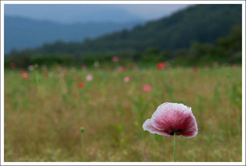 Poppy fields at Hana no Miyako