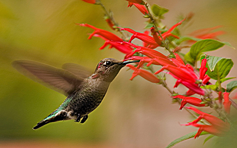 Hummingbird1Costco.jpg
