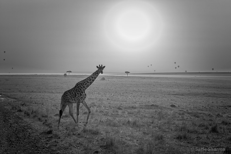 GiraffeMasaiMara05_1k.jpg