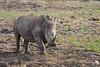 White Rhino at the waterhole