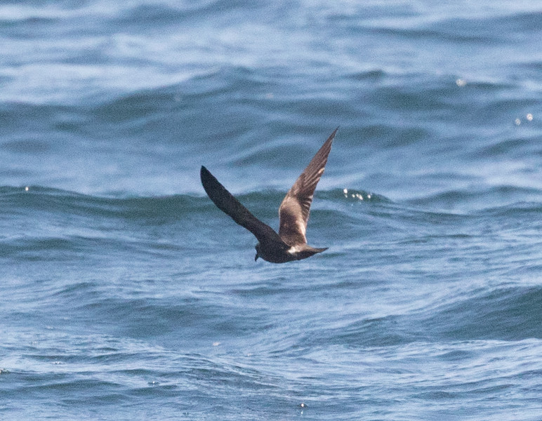 Leach`s Storm Petrel Near 9 Mile Bank San Diego 2016 08 15-1.CR2