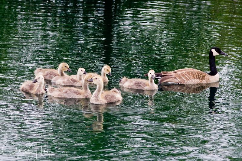 goose family2.jpg