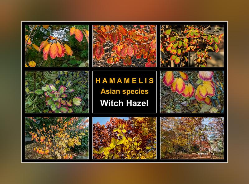 Fall primer:  Hamamelis, Asian species, witch hazels