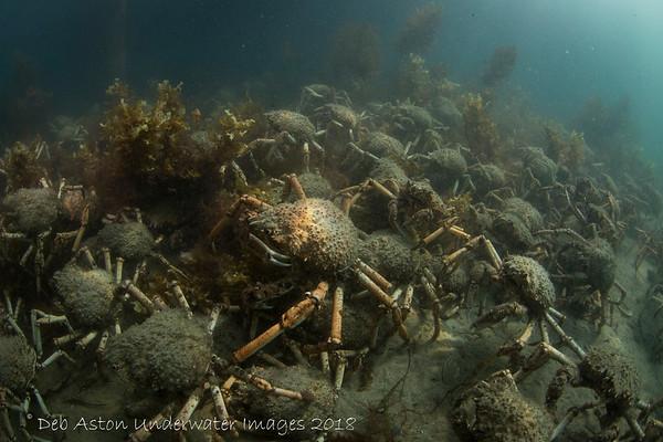 Spider Crabs gathering Blairgowrie