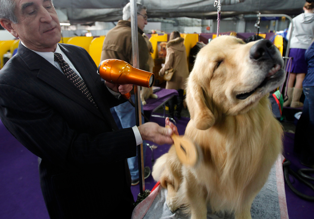 Description of . Groomer Brian Still blows out Henry, a Golden Retriever during the 137th Westminster Kennel Club Dog Show in New York, February 12, 2013. More than 2,700 prized dogs will be on display at the annual canine competition. Two new breeds, the Russell terrier and the Treeing Walker coonhound, will be introduced in the contest.  REUTERS/Carlo Allegri