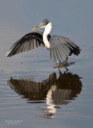 Pied Heron (Egretta picata)