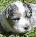 MARLEY ( Aussie Girl Puppy Pics )
