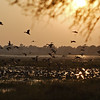 Ducks in flight at sunset in the wetlands of Bharatpur