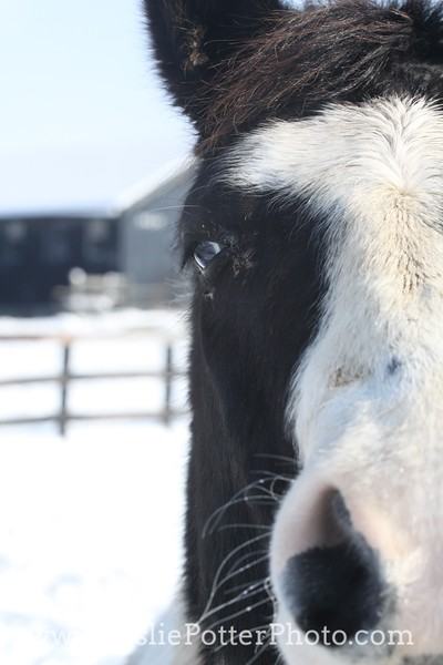 Closeup of a Black and White Pinto Horse Face in Winter
