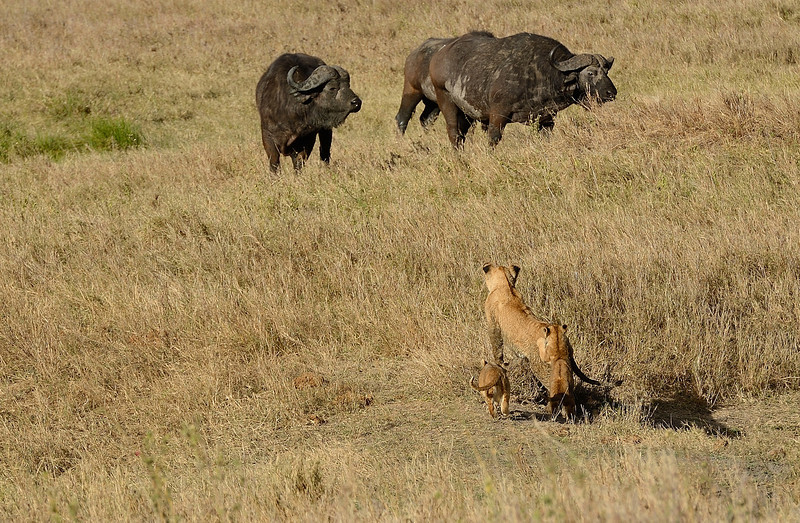 Lioness-with-cubs-wary-of-buffaloes.jpg