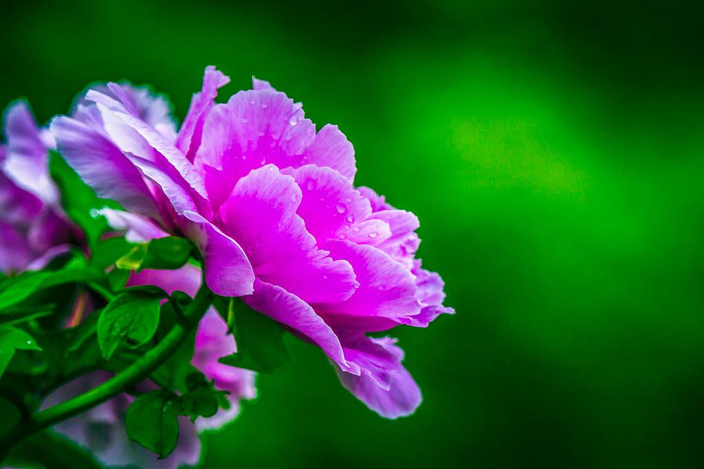 牡丹花,雍容华贵