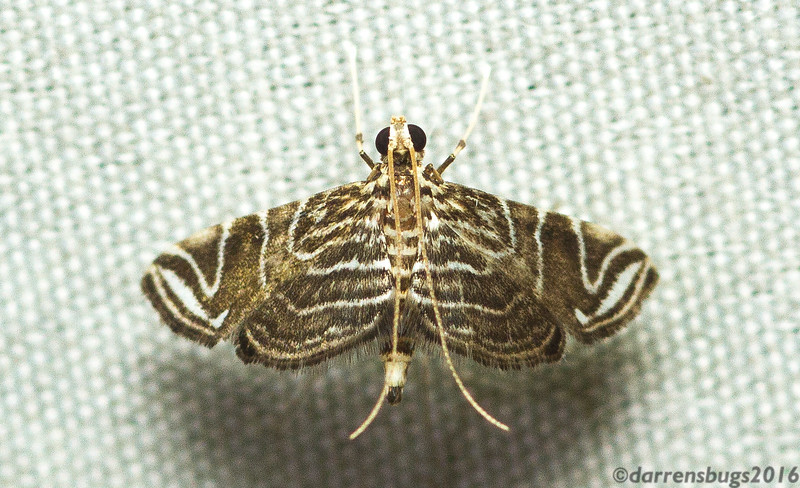Grass moth, Crambidae, from Panama.