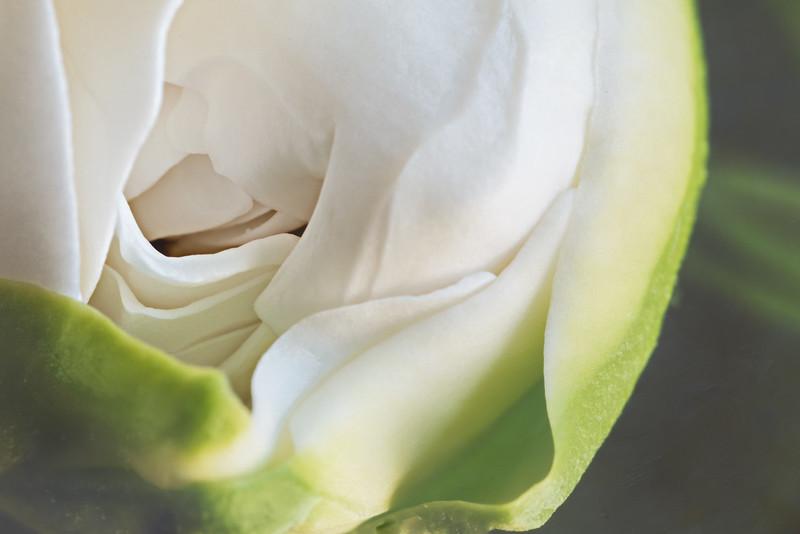 Gardenia Bud